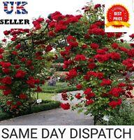 30x Climbing Rose Flower Seeds Garden Plant,  Red Colour. UK Seller