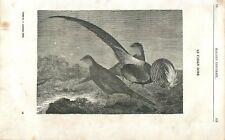 Faisan doré Chrysolophus pictus oiseau de Chine  GRAVURE ANTIQUE OLD PRINT 1839
