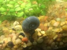 7+ Blue Aquatic Ramshorn Snails. Limited one time offer!!