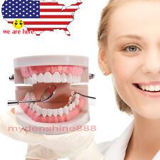 dentist  & school Teach Study Adult Standard Typodont Demonstration Teeth Model