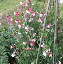 SWEET PEA Painted Lady ORGANIC SEED Highly scented.