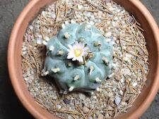 Fresh Ariocarpus LW rare exotic cactus 10 seeds