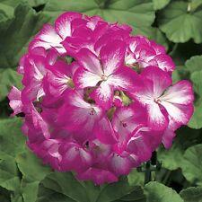 15 Geranium Seeds Ringo Rose Star