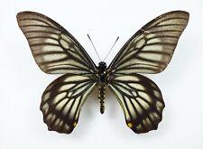 Papilio veiovis Männchen