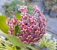 "Hoya Pubicalyx mottled-silver leaf live plant  Wax plant tropical vine 5"" tall"
