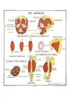 DIFFERENT MUSCLES POSTCARD - FRENCH LANGUAGE - LES MUSCLES - NEW & PERFECT