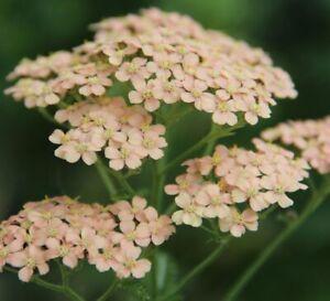 Achillea Salmon Beauty - 2litre pot- Good for bees & butterflies