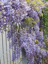 5 JAPANESE WISTERIA Floribunda Flower Purple Ornamental Vine Climber Seeds +Gift