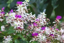 Lysidice Rhodostegia Very Rare Fragrant Tree 5/50 seeds, Garden Miriam Flower