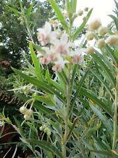 Swan Plant Milkweed  50+ seeds  Gomphocarpus physocarpus Organic 2020