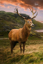 STUNNING SCOTTISH RED DEER STAG CANVAS #33 HIGHLANDS WILDLIFE CANVAS PICTURE A1