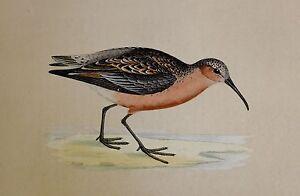 c1875 ANTIQUE PRINT ~ CURLEW SANDPIPER HAND COLOURED British Birds Morris