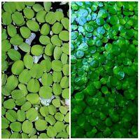 Live Floating Plant Combo Water Spangles (Salvinia Minima) + Giant Duckweed