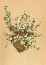ALPINE FLOWERS. Saxifraga arachnoidea Sternb-Spinnwebiger Steinbrech 1897