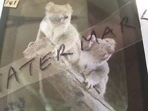 Antique vintage old glass lantern slide black and white photo Koala Bears Koalas