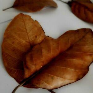 Dried Jack Fruit Organic Bio Film Shrimp Aquarium Ceylon Natural 100 PCs Leaves