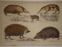 C1850 Cuvier Goldsmith Estampado Hedgehogs Tenree & Tendrac