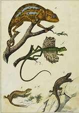 CHAMÄLEON, FLUGDRACHE (DRACO) & EIDECHSE - Schubert - Lithografie 1849