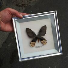 Schaukasten Alu echter Schmetterling ATROPHANEURA HORISHANUS Bilderrahmen