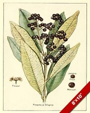 PIMENTO ALLSPICE KITCHEN SPICES DRAWING PAINTING ART POSTER PRINT REAL CANVAS