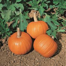 20 Wee Be Little Pumpkin Seeds - Everwilde Farms Mylar Seed Packet