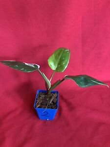 Philodendron 'White Princess' (young plant 2)