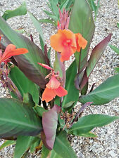 Canna lily Storm Boy Bare Rooted Hardy Sun Loving Perennial Plant