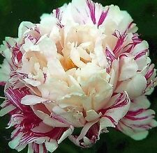 """PEONY PLANT ROOT """"CANDY STRIPE"""" (NOT SEEDS) with eyes!"""