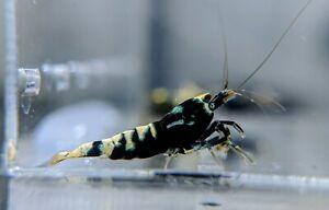 5 Black Galaxy Pinto Shrimp_Taiwan Bee_Crystal Shrimp_Caridina_Shrimpy Business