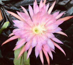 Epiphyllum Pink Plum Orchid Cactus Cutting