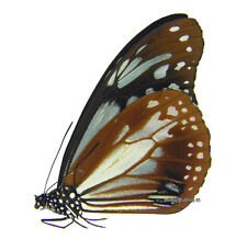 Unmounted Butterfly/Danaidae - Parantica sita jeju, male, South Korea, A1/A-