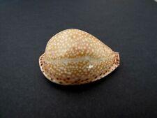 """Cypraea Lamarckii 44,3 mm f++  """" Madagascar """""""