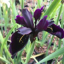 10PCs Seeds Siberian Iris Black Gold Iris Chrysographes Flower Home Garden Yard