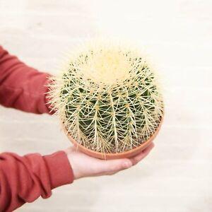 Echinocactus Grusonii 'Golden Barrel Cactus' (2 sizes)