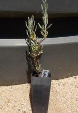 1 x  Lavender plant lavandula angustifolia - perennial herb plant tube size