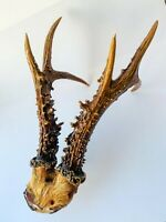 Vintage Real Natural Roe Deer Horns Antlers Taxidermy Wood 12.5""