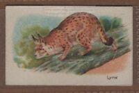 Lynx Skull X Lg Canadian Lynx Alaska Cleaned By Coyote Trapper