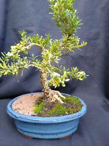 Bonsai Tree - Japanese Boxwood