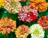 Zinnia- Elegans - Candy Striped Mix - 100 Seeds
