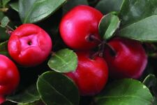 Wintergreen, Gaultheria procumbens, Seeds, (Edible Fragrant Ground Cover)