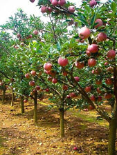 Apple Tree Seeds Sweet Delicious Fruits