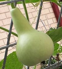 RARE High Yielding Small Asian Bottle Gourd, Long Melon, Lauki - 6 Seeds