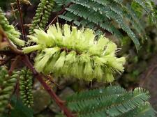10 graines ALBIZZIE A CRETE (Paraserianthes Lophanta)G345 PLUME ALBIZIA SEEDS