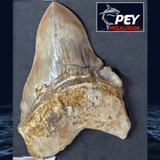 "#318 ✅ 5.02"" PATHOLOGICAL Indonesian Megalodon Shark Tooth 100% NATURAL"