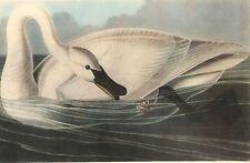 "JAMES AUDUBON 1937 Book Print ""TRUMPETER SWAN"" Birds of America Painting"