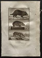 1799 - Buffon - L'urson / Le tanrec - Gravure zoologie