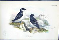 Antique Print 1897 Lloyd Sharpe Colour Birds Great Britain Little Auk Wyman