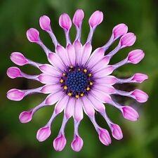 35Pcs Pink African Daisy Osteospermum Ecklonis Plant Flower Garden Rare Seeds