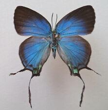 Butterfly Lycaenidae Arcas tuneta female