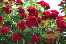 rote Ramblerrose Chevy Chase, starkwachsende Kletterrose, im Topf,